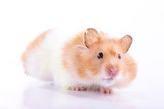 Hamster Stockfoto