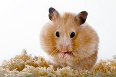 Hamster Fotos de Stock