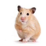 Hamster. IBeautiful beige hamster on a white background