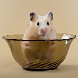 Hamster. The beautiful beige hamster sits in a salad dish Royalty Free Stock Images