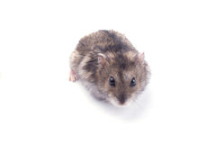 Free Hamster Stock Photos - 20179913