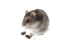 Free Hamster Royalty Free Stock Image - 20179916