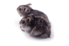 Hamster royalty free stock photography
