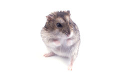 Hamster Royalty Free Stock Photo