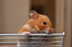 Hamster. A female syrian hamster playing Stock Photo
