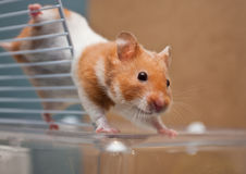 Hamster. A female syrian hamster playing