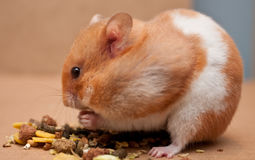 Hamster. A female syrian hamster feeding Stock Photography