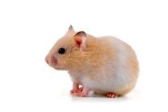 Free Hamster Royalty Free Stock Photo - 21088315