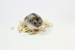 Hamster Lizenzfreie Stockfotos