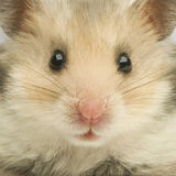 Hamster Fotos de Stock Royalty Free