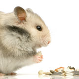 Hamster royalty free stock images