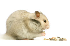 Hamster Stock Images