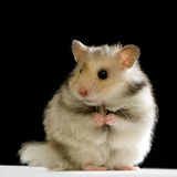 Hamster. In front of a black background stock images