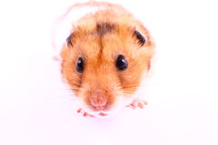 Free Hamster Royalty Free Stock Photography - 2348767