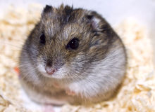 Hamster. Dzhungarian hamster looks in camera Royalty Free Stock Photography