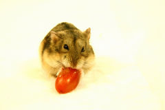 Hamster 3 Fotos de Stock Royalty Free