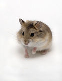 Hamster. A small hamster vigilance in white background Stock Photography