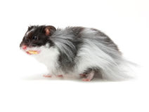 Hamster. An eating hamster isolated on a white background Stock Image