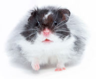 Hamster. A hamster isolated on a white background Stock Images