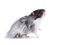 Hamster. A hamster look high, isolated on a white background Stock Images