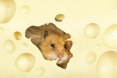 The hamster Royalty Free Stock Photos