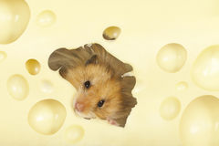The hamster Stock Photos