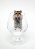 Hamster Royalty Free Stock Photos