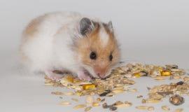 Hamster Stock Afbeeldingen