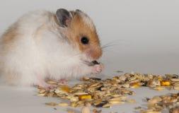 Hamster Stock Fotografie