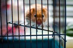hamster Fotografering för Bildbyråer