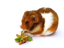 hamster Arkivfoto