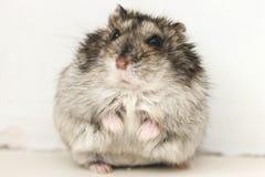 Hamster Foto de Stock Royalty Free