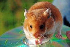Hamster Stock Photos