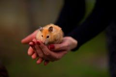 hamster Royaltyfri Fotografi