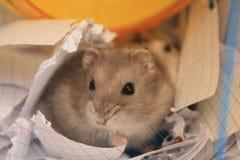 hamster Royaltyfri Bild
