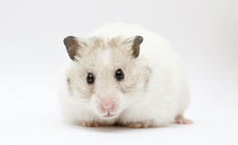 Hamster. Syrian hamster on abstract gray background Stock Photos