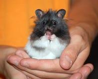 Hamster Lizenzfreies Stockfoto