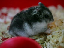 Hamster stock footage