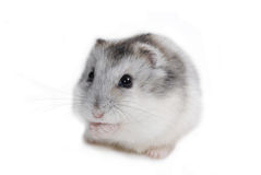 Hamster. My good pet hamster on white background stock images