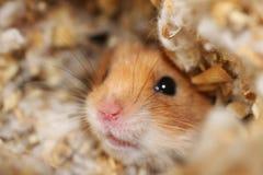 hamster Arkivbild