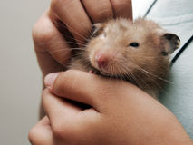 Hamster. A hamster sits on a hand royalty free stock photo
