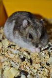 Hamster Stock Afbeelding