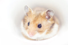 Hamster. The shot of little hamster (soft focus Royalty Free Stock Image