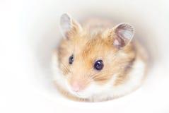 Hamster. The shot of little hamster (soft focus royalty free stock image