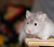 Hamster. Grey and white hamster Stock Photography