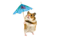 Hamster. With paper umbrella over the white Royalty Free Stock Photography