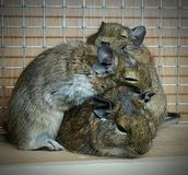 hamster Imagens de Stock Royalty Free