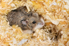 Hamster. Hiding in sawdust, selective focus Stock Photography