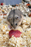 Hamster. Eating a small piece of red apple Royalty Free Stock Images