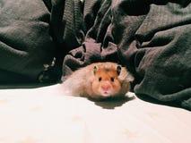 Hamster Lizenzfreie Stockfotografie
